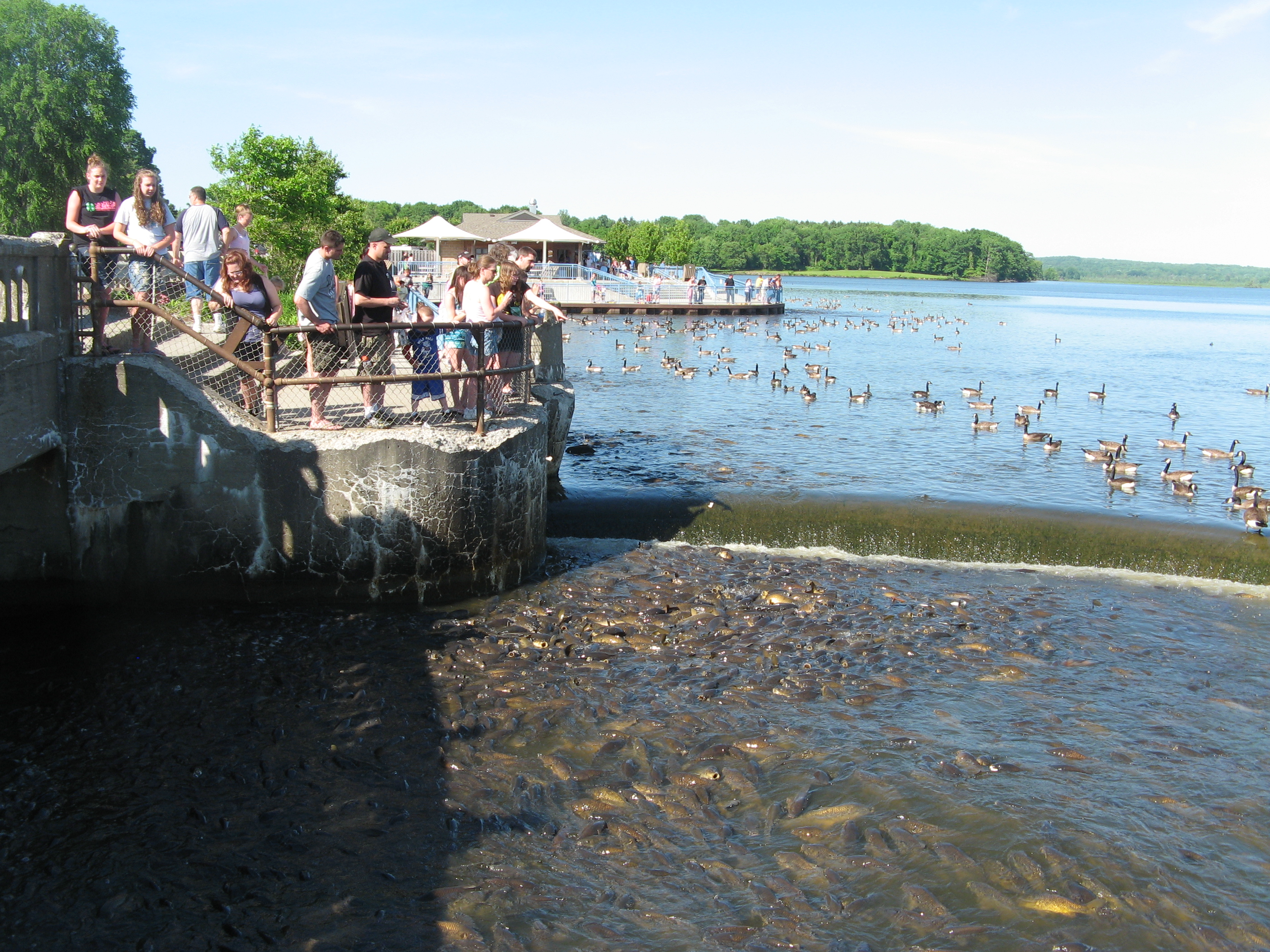 The Linesville Spillway basin packed to the rim with carp, ducks, and geese.